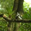 Chloroceryle americana - Green Kingfisher