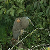 Tigrisoma mexicanum - Bare-throated Tiger-Heron (Adult)