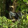 Anhinga anhinga - Anhinga (Female)