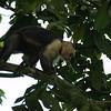 Cebus capucinus - White-faced Capuchin