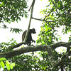 Alouatta palliata - Mantled Howler Monkey