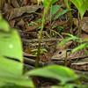 Nyctidromus albicollis - Common Pauraque