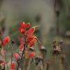 Orobanchaceae - <br /> Castilleja integrifolia