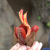 Chiranthodendron -  Devil's, monkey's or Mexican hand tree or the hand-flower