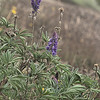 Fabaceae - <br /> Lupinus - Lupine