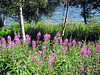 Spectacular fireweed