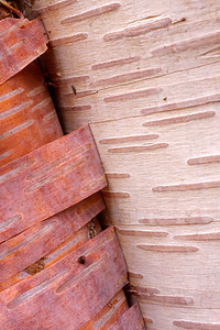Detail of paper birch bark