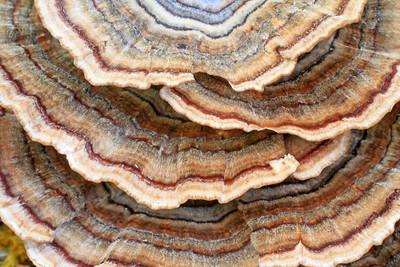 Colourful striped shelf fungi Nova Scotia New Brunswick PEI