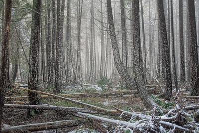 Forest Snow 2