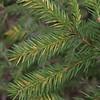 Chrysomyxa ledi on Norway spruce needles in June (Joutsa, Finland)