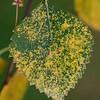 Melampsora betulina on Betula pendula