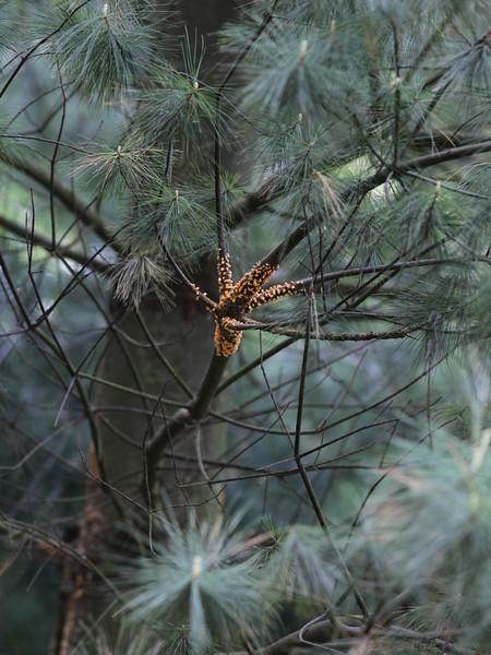 Blister rust (Cronartium ribicola) on Pinus strobus in the Viikki Arboretum, Helsinki