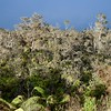 Rapid Ohia Death on Hawaii