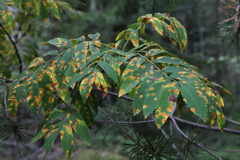 Gymnosporangium cornutum on mountain ash (Joutsa, Finland)