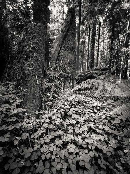 Redwoods Forest Scenery