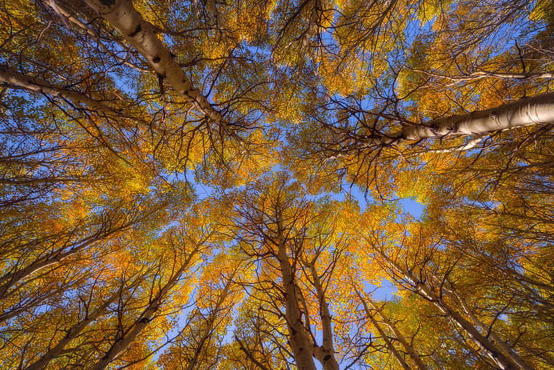 Canopy of Gold