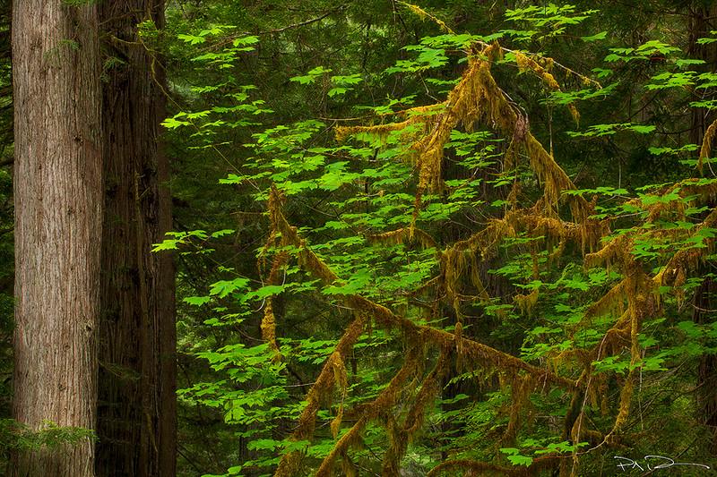Off Set - Redwoods, CA