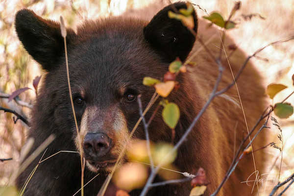 Cinnamon Bear Yearling