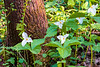 Blooming White Trillium and Bishop's Cap