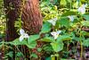Blooming White Trillium and Bishop's Cap