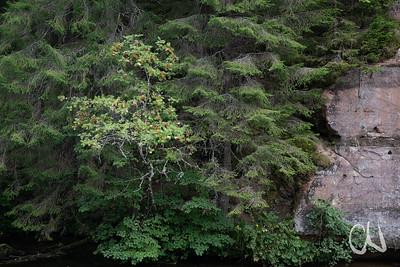 Vogelbeere und Fichten, Sandstein-Steilwand, Taevaskoja, Ahja-Fluss, im Südosten Estlands