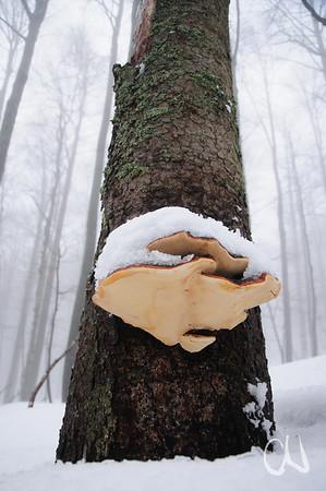 Baumpilz, Schnee, Bayerischer Wald, Deutschland