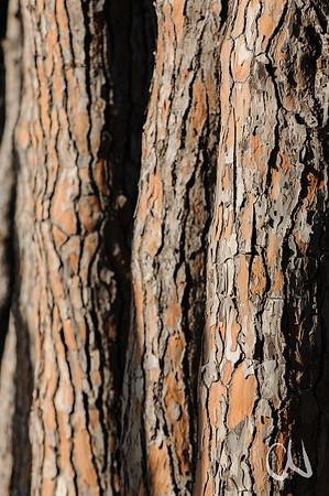 Stämme von Pinien im Abendlicht, Schirmkiefer, Pinus pinea, Feniglia, Laguna di Orbetello, Maremma, Toskana, Italien