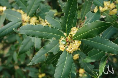 Lorbeerbaum, Laurus nobilis, Blüte, Maremma, Toskana, Italien, Tuscany, Italy