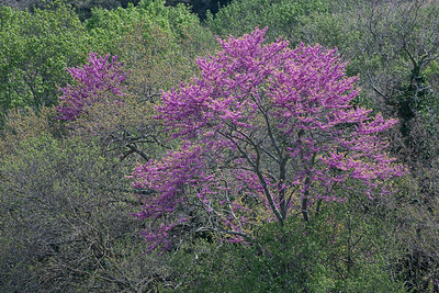Judasbaum (Cercis siliquastrum), Judas tree, Maremma, Südliche Toskana, Italien
