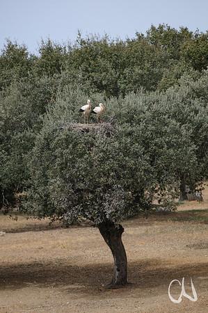 Storchennest in Steineiche, Dehesa, Weißstorch, Finca Dona Catalina, bei Aldea del Obispo, Trujillo, Extremadura, Spanien