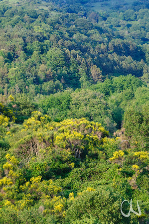 Landschaft mit Waldhängen und Pfriemenginster, Spartium junceum, Stribugliano, Monte Buceto, Region Monte Amiata, südliche Toskana, Italien, Tuscany, Italy