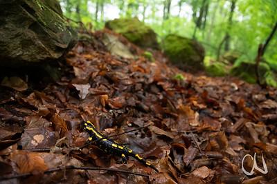 Salamander-Wetter! Feuersalamander, (Salamandra salamandra), Buchenwald bei Tübingen, Deutschland