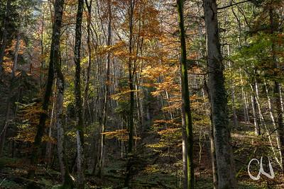 Mischwald mit Buche, Bergahorn, Fichte, Tanne, Bannwald bei Tieringen, Albtrauf, Schwäbische Alb, Baden-Württemberg, Deutschland
