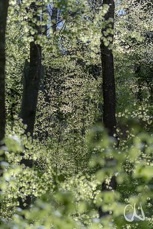 Frühling im Buchenwald - spring in European beech forest