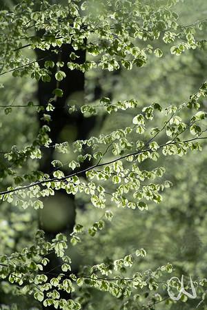 Laubaustrieb im Buchenwald, Fagus sylvatica, Rotbuche, European beech, Schwäbische Alb, Gönningen, Albtrauf, Baden-Württemberg, Deutschland