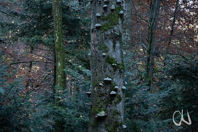 alter Buchenstamm mit vielen Holzpilzen, stehendes Totholz, Bannwald bei Tieringen, Albtrauf, Schwäbische Alb, Baden-Württemberg, Deutschland