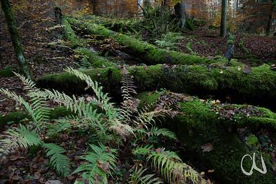 moosbewachsenes Totholz im Bannwald bei Tieringen, Albtrauf, Schwäbische Alb, Baden-Württemberg, Deutschland