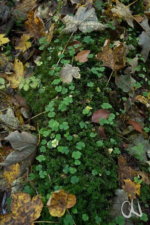 Sauerklee auf Moospolster auf einem toten Aststück am Waldboden, Ahorn und Buchenblätter, bei Tieringen, Albtrauf, Schwäbische Alb, Baden-Württemberg, Deutschland