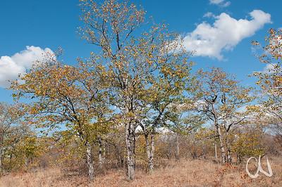 Mopane, Krüger Nationalpark, Kruger National Park, Südafrika, South Africa