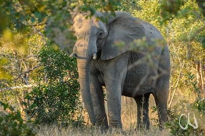 African Elephant (Loxodonta africana) standing in the bush looking through leaves in evening light, Krüger Nationalpark, Kruger National Park, Südafrika, South Africa