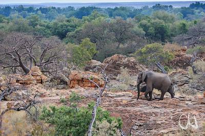 Elefant, elephant, Loxodonta africana, Felsen, Mapungubwe National Park, Limpopo, South Africa, Südafrika