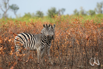Zebra, Krüger Nationalpark, Kruger National Park, Südafrika, South Africa