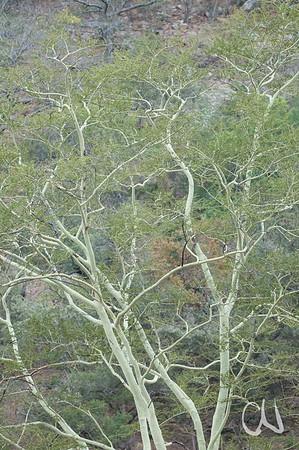 Rinde, Fever-Tree, Krüger Nationalpark, Kruger National Park, Südafrika, South Africa
