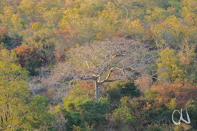 Pod-Mahogany (Afzelia quanzensis), verliert in der Trockenzeit sein Laub, Aufnahme Anfang August, tropischer Trockenwald, Sandwald, Bushveld, nördlicher Krüger Nationalpark, Südafrika