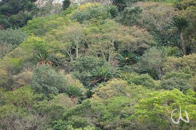 Modjadji Cycad Nature Reserve, Limpopo, Südafrika, South Africa
