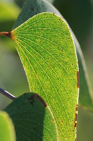 Colophospermum mopane, Mopane-tree, leaves, Mopane, Baum, Blatt, Vingerklip, Ugab-Terassen, Damaraland, Namibia