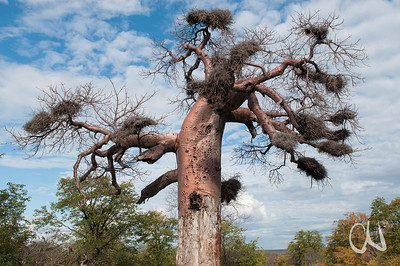 von Elefanten geschädigter Baobab mit Vogelnestern, nördlicher Krüger Nationalpark, Kruger National Park, Südafrika, South Africa