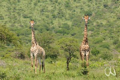 Hluhluwe-Umfolozi Game Reserve, Imfolozi, Südafrika, South Africa