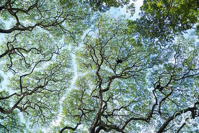 """Kronendach des Cenízaro-Baumes, (Albizia saman), Rain Tree, Mimosenverwandte, mit Abstand zwischen den äüersten Blättern verschiedener Kronenbereiche, """"crown shyness"""""""
