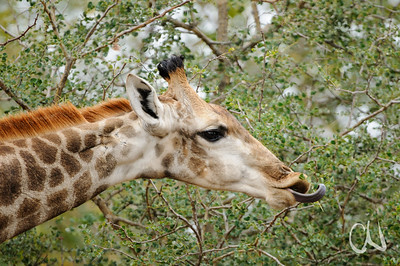 Giraffe (Giraffa camelopardalis) feeding on thorny Acacia tree, Krüger Nationalpark, Kruger National Park, Südafrika, South Africa